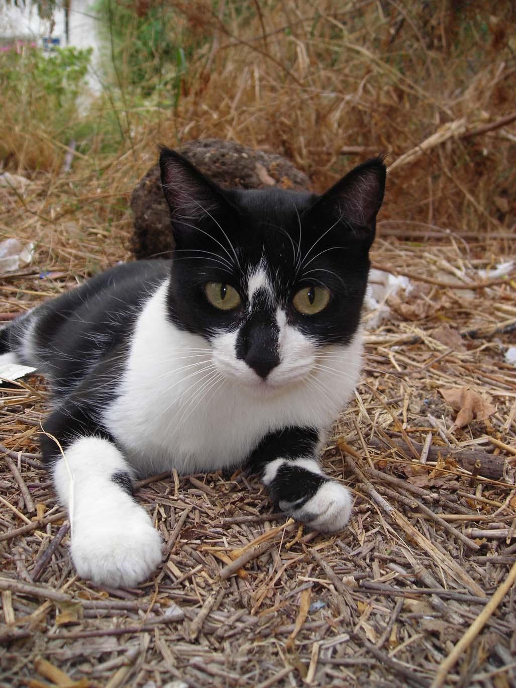 Lua 10 meses comun europeo esterilizada en busca de una segunda oportunidad - Cuidados gato 1 mes ...