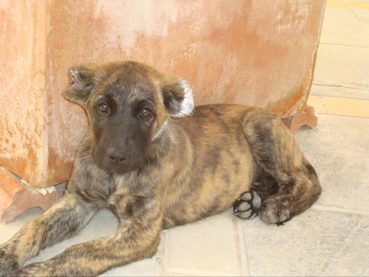 Una cachorrita a la que han cortado las orejas a tijeretazos CACHORRA-DE-5-MESES