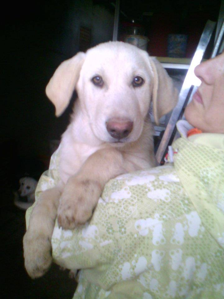 Cinco Preciosas Cachorras Cruce De Labrador