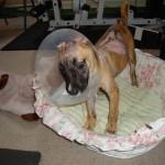Susie recuperándose, aún cachorra