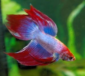 El animalismo aplicado a la acuariofilia en busca de una for Acuariofilia peces ornamentales