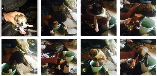 FireShot Screen Capture #589 - 'Una camada de 10 cachorros - InfoDogBook' - www_infodogbook_com_2014_07_15_una-camada-de-10-cachorros