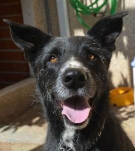 Thor tiene 5 años, muy buen carácter y está en adopción en Cáceres: ACDA protectoracaceres@gmail.com