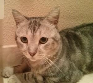 Este gato joven y muy cariñoso, con inmuno, busca un hogar en el que no haya otros gatos. Está en Alicante. Contacto. 687910038 687910056