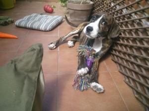 Scooby está esperando un hogar. Madrid. 647 711 183 - 645 04 28 90