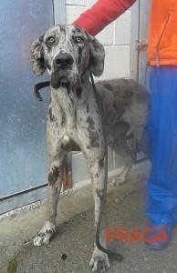 En adopción en Asturias (Amigos del perro).