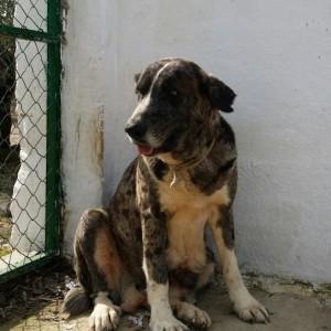 La mastina de la imagen, aún una cachorra, está en adopción en Córdoba. Contacto: maricelibour@hotmail.com 600351514