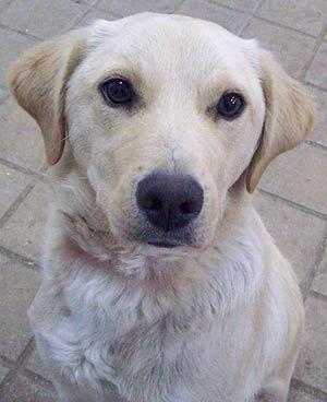 Leo Es Un Cachorro Cruce De Labrador Que Se Deprime En La