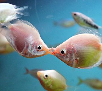 pecescelo