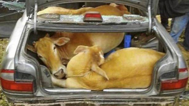 vacas_maletero