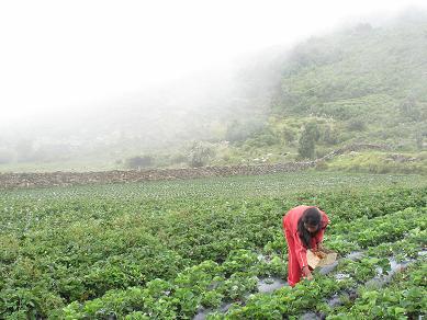 Aunque la tarde sea lluviosa, Delicia recoge 24 cajas de fresas