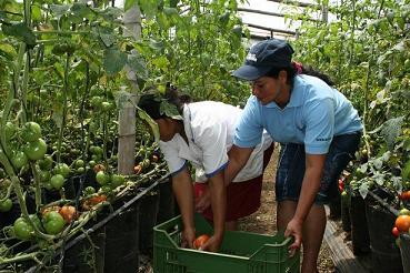 Rubidia trabaja en la cooperativa cultivando tomates. Foto: Martín Alvarado, AeA El Salvador