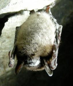 Murciélago afectado por el síndrome de la nariz blanca. / Wikipedia
