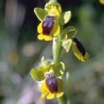 La orquídea amarilla, Ophrys lutea, se llama también orquídea abeja porque su labelo, especie de pétalo de la orquídea, imita al abdomen de este insecto/Ramón Morales