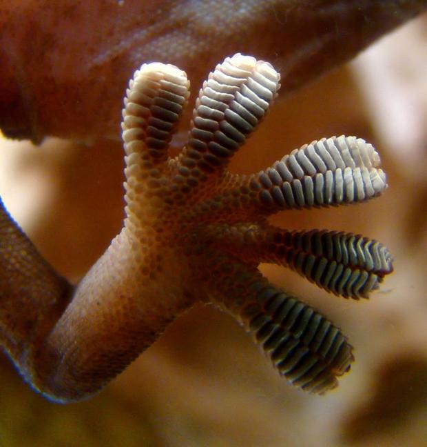 La extraordinaria capacidad de adherencia del camaleón se debe a los finísimos pelos de sus extremidades  / Bjørn Christian Tørrissen