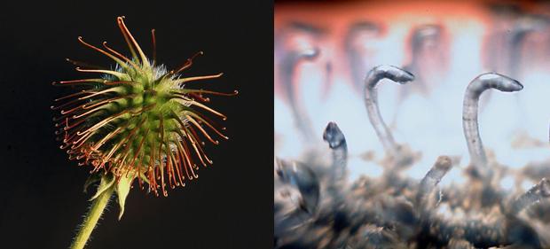 Los ganchillos del velcro (derecha) imitan a los del cardo (izquierda) / Zephyris - Olivepixel