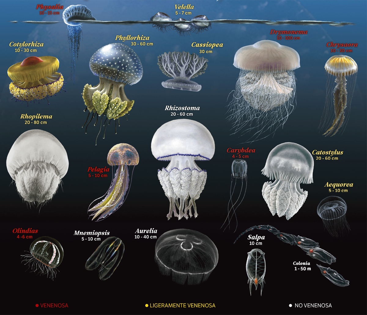 Medusas del Mediterráneo