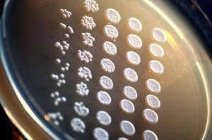 Inoculación de mutantes de la levadura de laboratorio (Saccharomyces cerevisiae) en placa de agar. /Rainis Venta / Wikimedia Commons.
