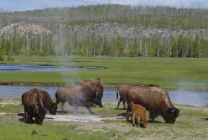 Bisontes junto a una fuente termal en el Parque Nacional de Yellowstone / Wikipedia