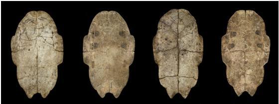 Huesos oraculares de la dinastía Shang. Se atribuía a los espíritus ancestrales el poder de influir en los vivos. Para realizar profecías, se preparaban las superficies puliendo huesos de animal o la parte inferior de caparazones de tortuga. Los adivinos preguntaban a los ancestros e interpretaban las respuestas a partir de las grietas que aparecían al aplicar calor con un metal incandescente. La pregunta y la respuesta se inscribían en el hueso. Crédito: Museo del Instituto de Historia y Filología (Taipei, Taiwan)