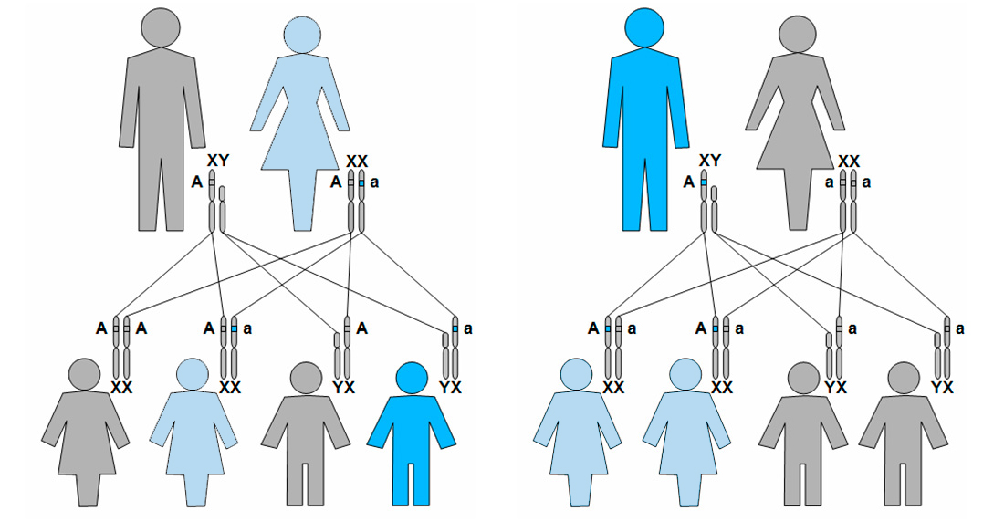 Por qué hay más hombres daltónicos y con hemofilia que mujeres ...