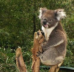 Un koala en el santuario de Healsville (Australia). Summi.