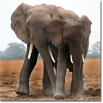 Elefantes en el Parque Nacional de Amboseli (Kenya). Javier Yanes.