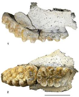 Fragmento de mandíbula de mastodonte hallado en Fonelas. Garrido y Arribas, IGME.