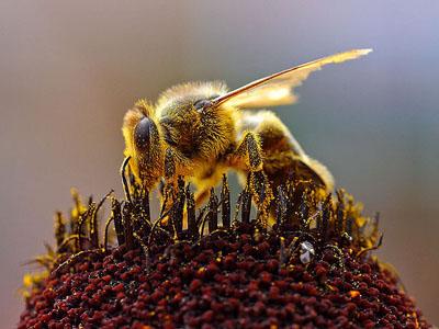 Una abeja europea 'Apis mellifera' recolectando polen. Jon Sullivan.