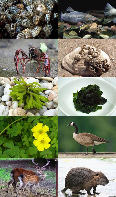 'Top 10' de especies invasoras en Europa. Se muestran en el mismo orden que en el texto, de izquierda a derecha y de arriba abajo. Todas las imágenes de Wikipedia.