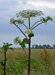 ¡Peligro, perejil gigante! La savia de esta planta ('Heracleum mantegazzianum'), que aún no ha llegado a España, es fototóxica y bajo la luz del sol provoca graves daños en piel y ojos. Frank Schwichtenberg/CreativeCommons.