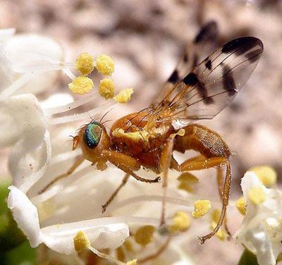 La mosca de la fruta 'Rhagoletis meigenii' deposita sus huevos en las bayas del agracejo. Janos Bodor.