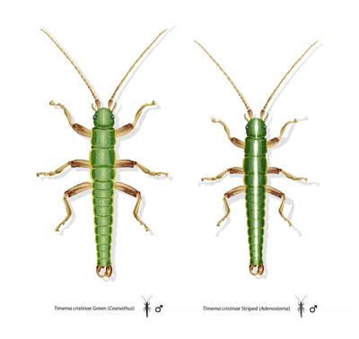Los dos ecotipos del insecto palo 'Timema cristinae'. Dibujos de Rosa Ribas.