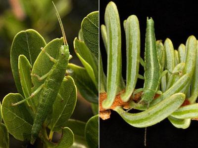 Los dos ecotipos del insecto palo 'Timema cristinae' en sus arbustos respectivos.  Aaron Comeault / Moritz Muschick.