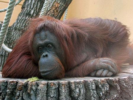 Un orangután en el zoo de Schönbrunn, en Viena. Foto de Zyance vía Wikipedia.
