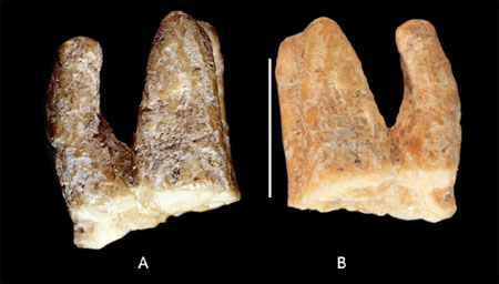 Una de las piezas dentales halladas en El Salt, Alcoy (Alicante). Foto de Garralda et al., Journal of Human Evolution.
