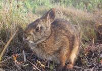El conejo dedicado a Hefner. Foto de USFWS.