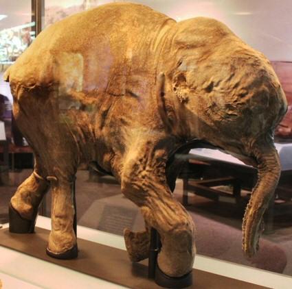 Imagen de Lyuba tomada de la Wikipedia. Por desgracia, los responsables de la exposición en el NHM de Londres no permitían tomar fotografías del bebé mamut (y vigilaban constantemente). Foto de Matt Howry.