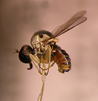 Una mosca similar a la extinta 'Carmenelectra'. Foto de Neil Evenhuis / Wikipedia.