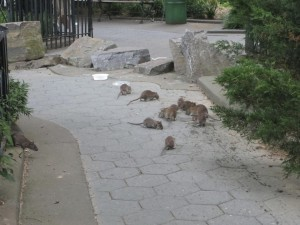 Ratas comiendo restos de comida en un parque de Nueva York. Imagen de Center for Infection and Immunity, Mailman School of Public Health, Columbia University.