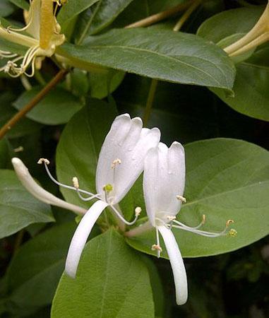 La madreselva 'Lonicera japonica', común en los jardines españoles. Imagen de Aftabbanoori / Wikipedia.