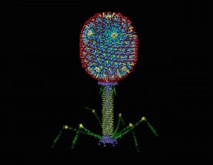 Estructura del virus bacteriófago T4. Imagen de CUA.edu.