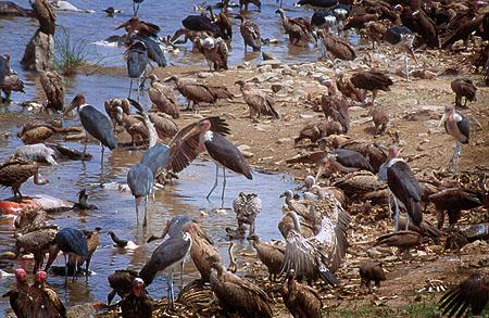Buitres y marabús se alimentan de cadáveres de ñus en la orilla del río Mara (Kenya). Imagen de Javier Yanes.