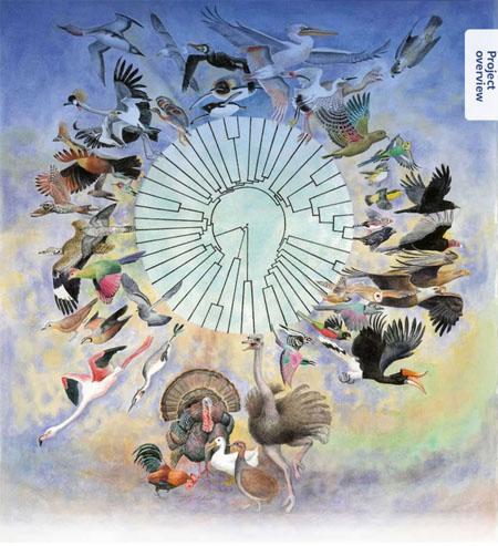 Ilustración del Avian Phylogenomics Project.