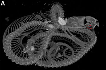 Tomografía de rayos X de la víbora. Los colmillos (en rojo) están replegados. Imagen de Mulley y Johnston.