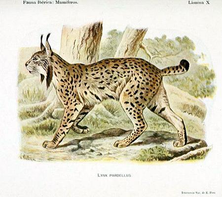 Lince ibérico dibujado por Ángel Cabrera en su obra 'Fauna Ibérica: Mamíferos' (1914).
