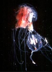 Una medusa melena de león (Cyanea capillata) capturando un ctenóforo (Pleurobrachia pileus). Imagen de USGS / Wikipedia.