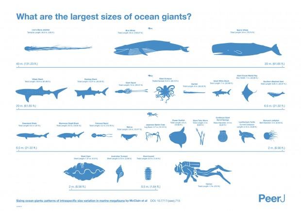 Gráfico comparativo de las mayores especies marinas de cada grupo. Imagen de McClain et al, PeerJ (2015).