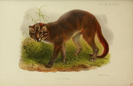 Gato dorado africano (Profelis aurata / Caracal aurata). Imagen de artvintage1800s.etsy.com / Flickr / Creative Commons 2.0.
