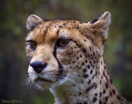 Guepardo del Sáhara (Acinonyx jubatus hecki). Imagen de Steve Wilson / Flickr / Creative Commons 2.0.